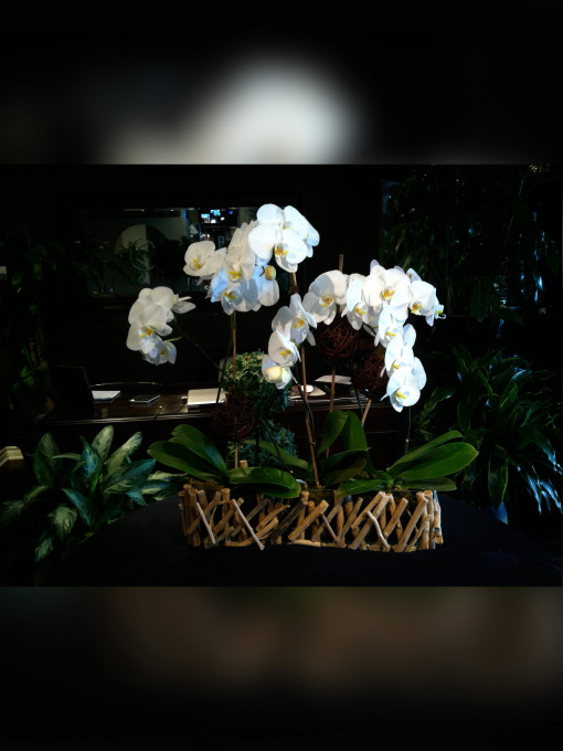 Natural White Phalaenopsis Orchid
